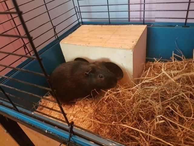 2 yr old male guinea pig