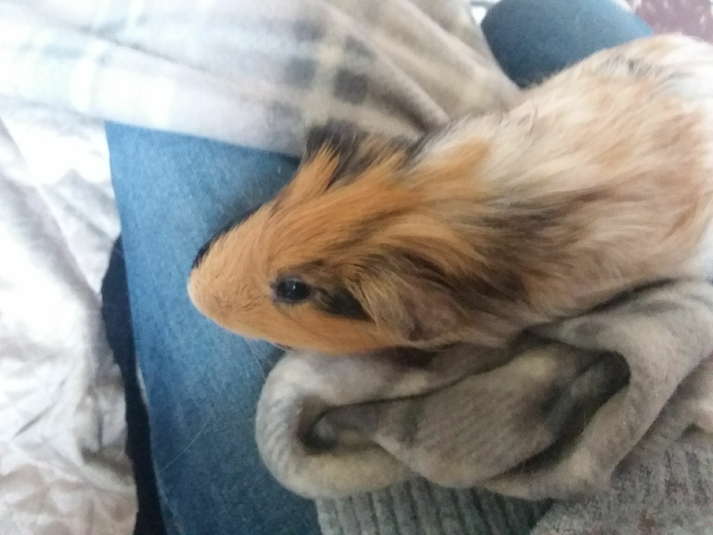 2 Bonded Male Guinea pigs  2 years old