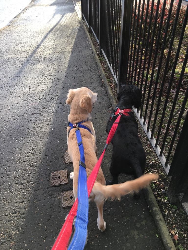 Dog walker in Paisley area