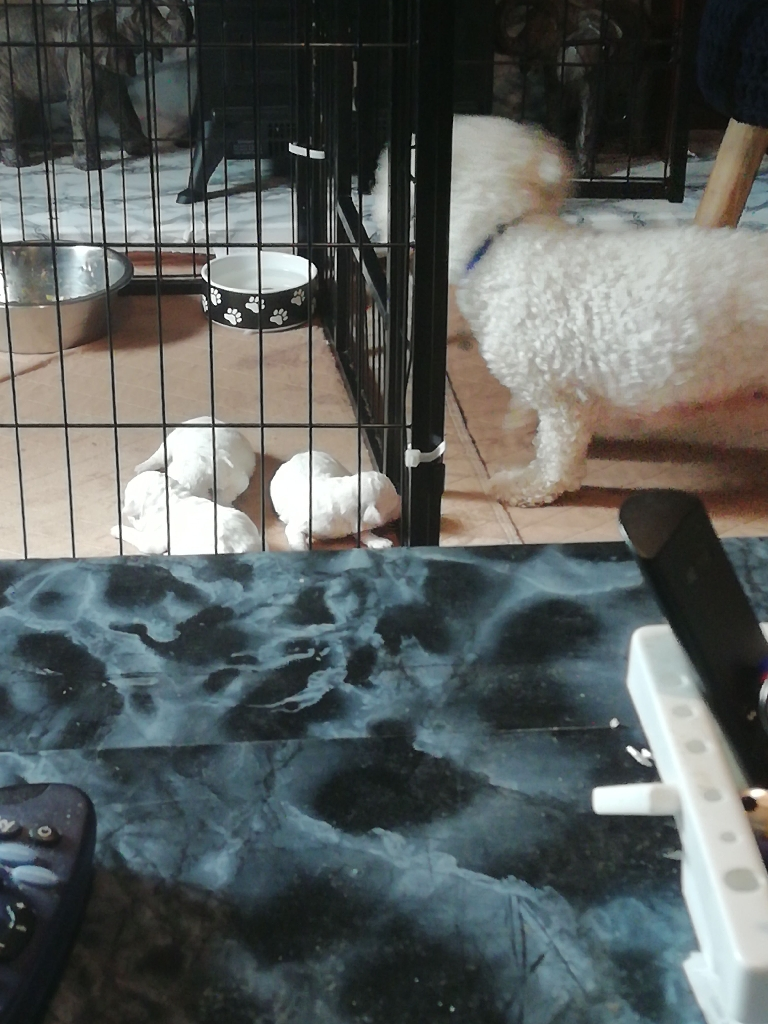 Full pedigree Bichon Frise puppies