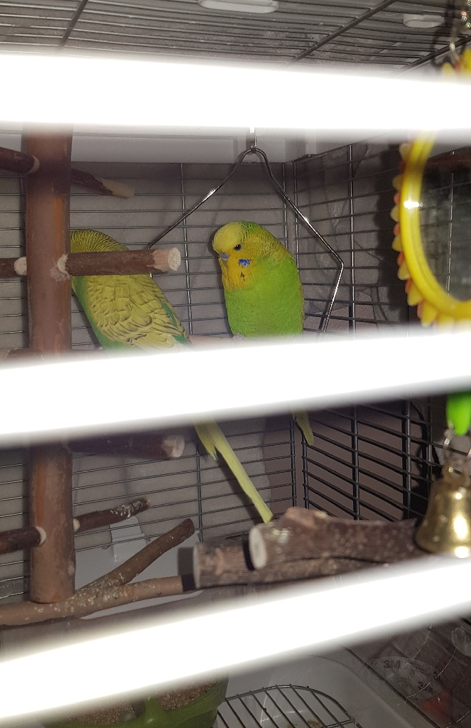 2 Budgies, 9mths, male+cage+stand
