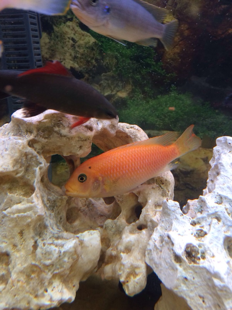African Malawi Cichlids fish (mix)