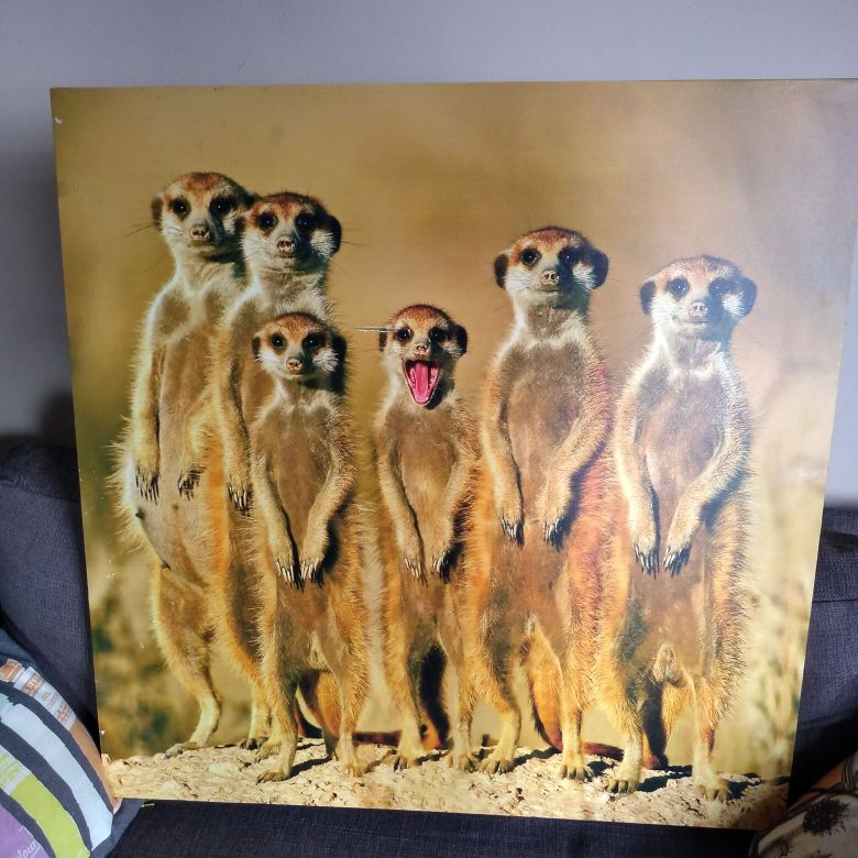 Meerkat Canvas picture