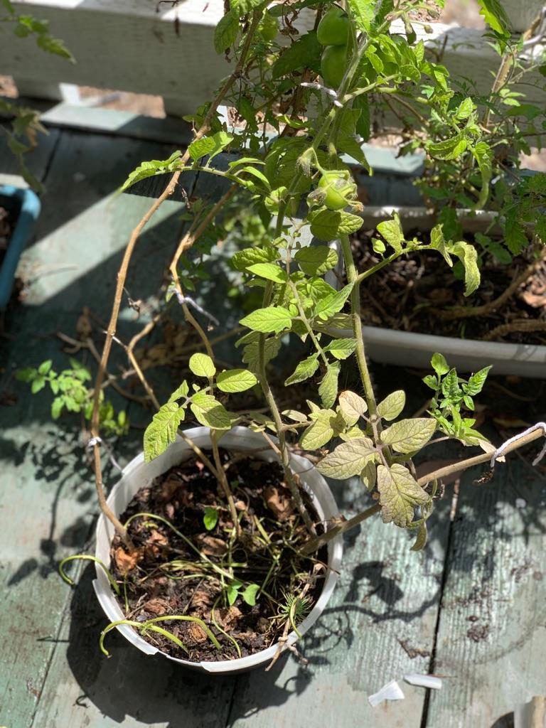 Organic tomato plants (5 plants )