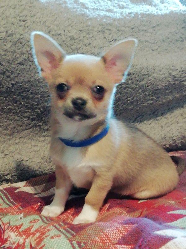 Pedigree Chihuahua for sale