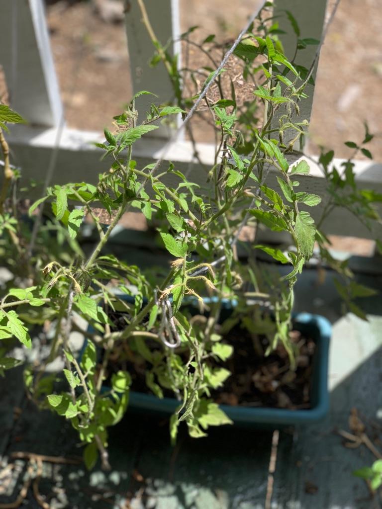 Organic tomato plants (2 plants )