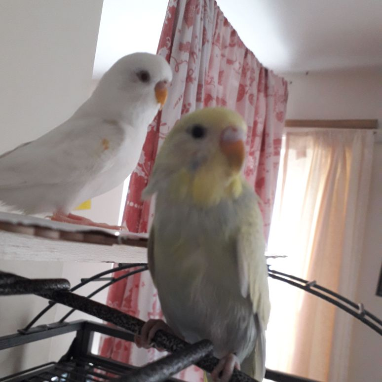 Female and male budgie with cage