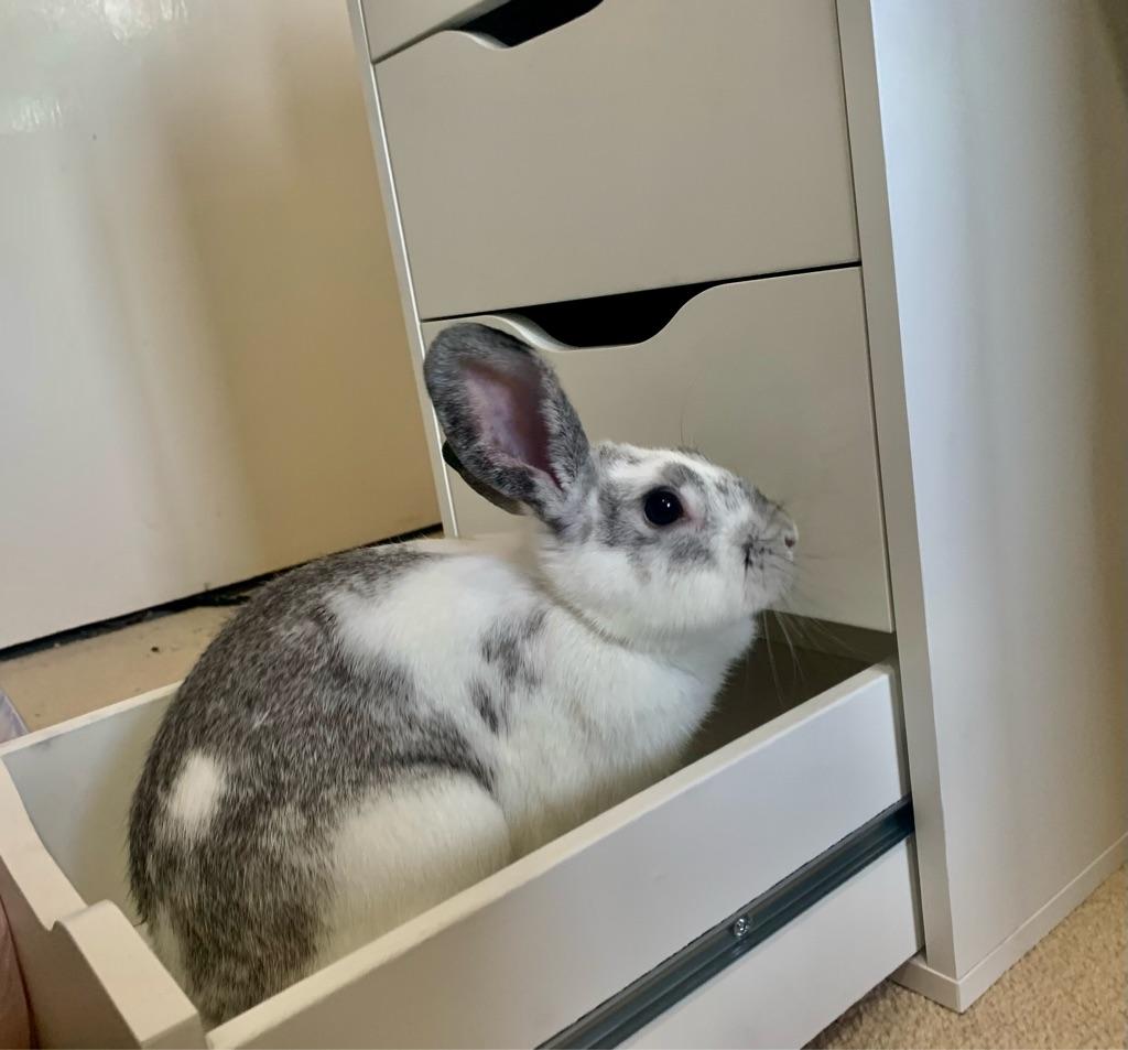 Beautiful female rabbit for sale