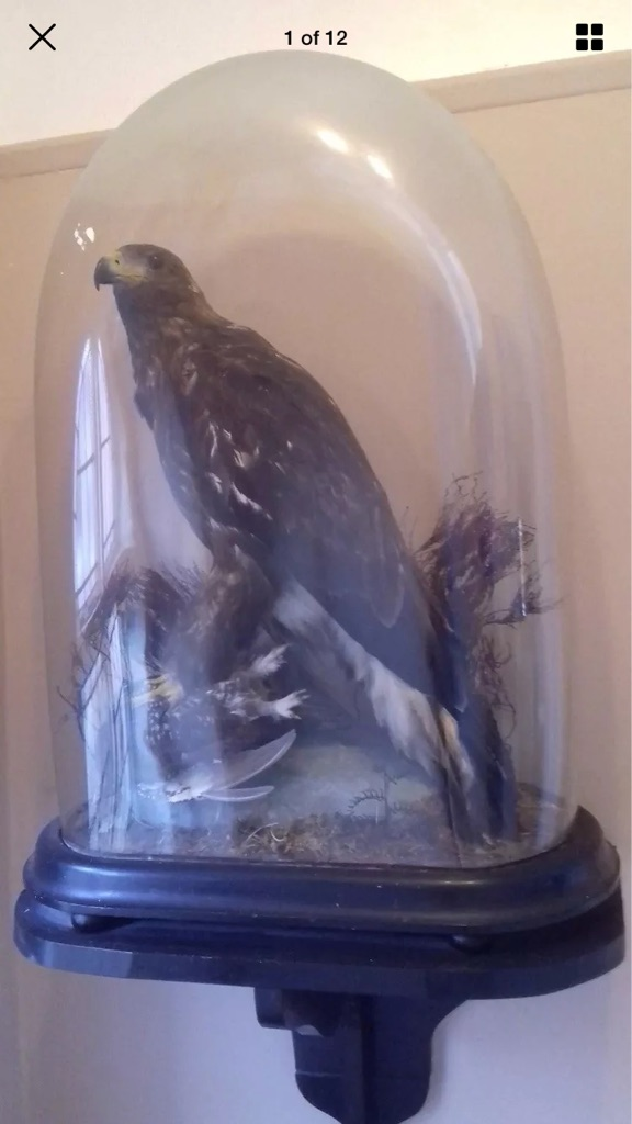 Taxidermy Golden Eagle And prey in large glass dome