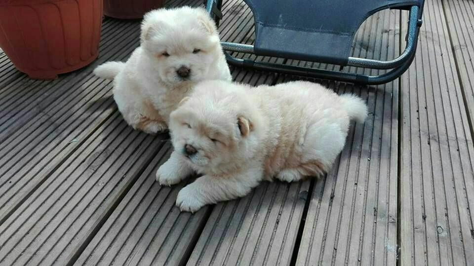 Beautiful Chow Chow Puppies