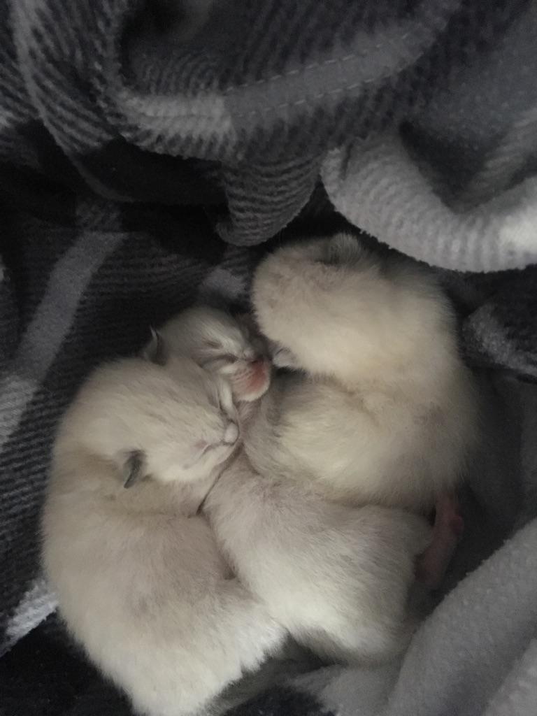 Ragdoll x Chocolate Point kittens