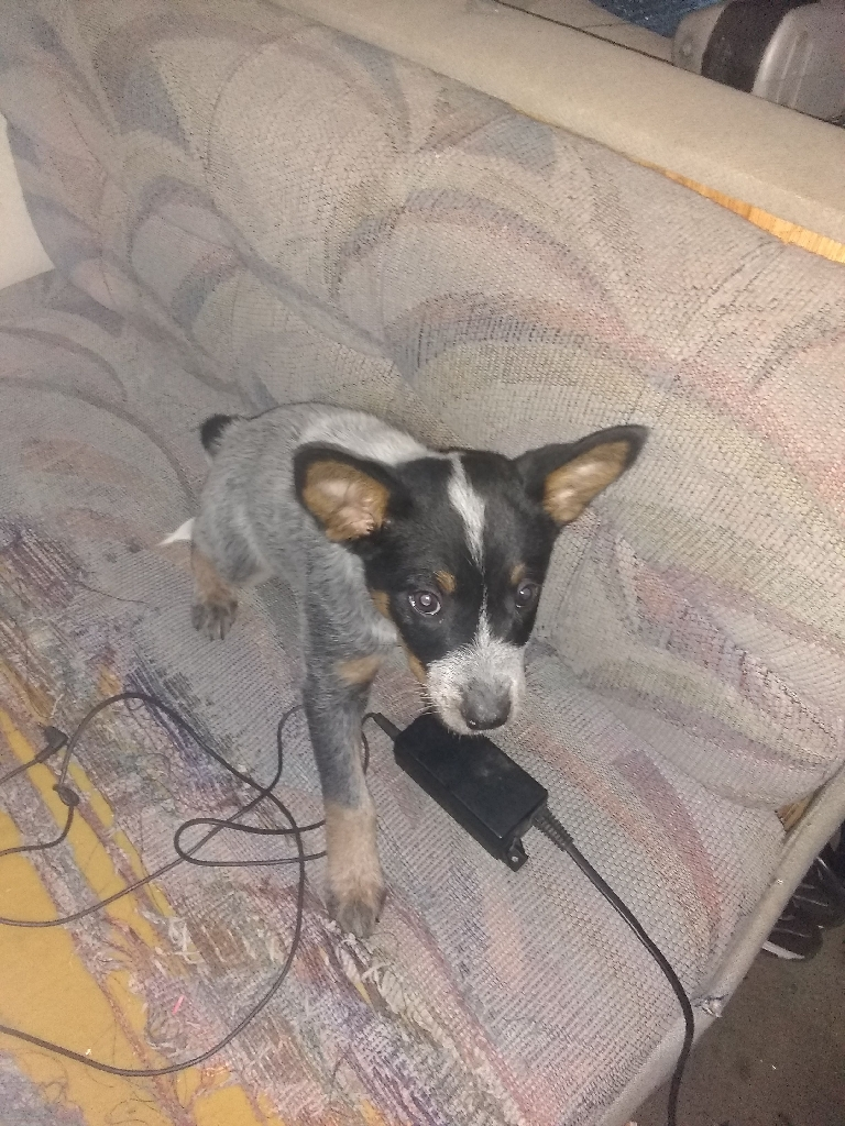Blue Healer Puppy for sale