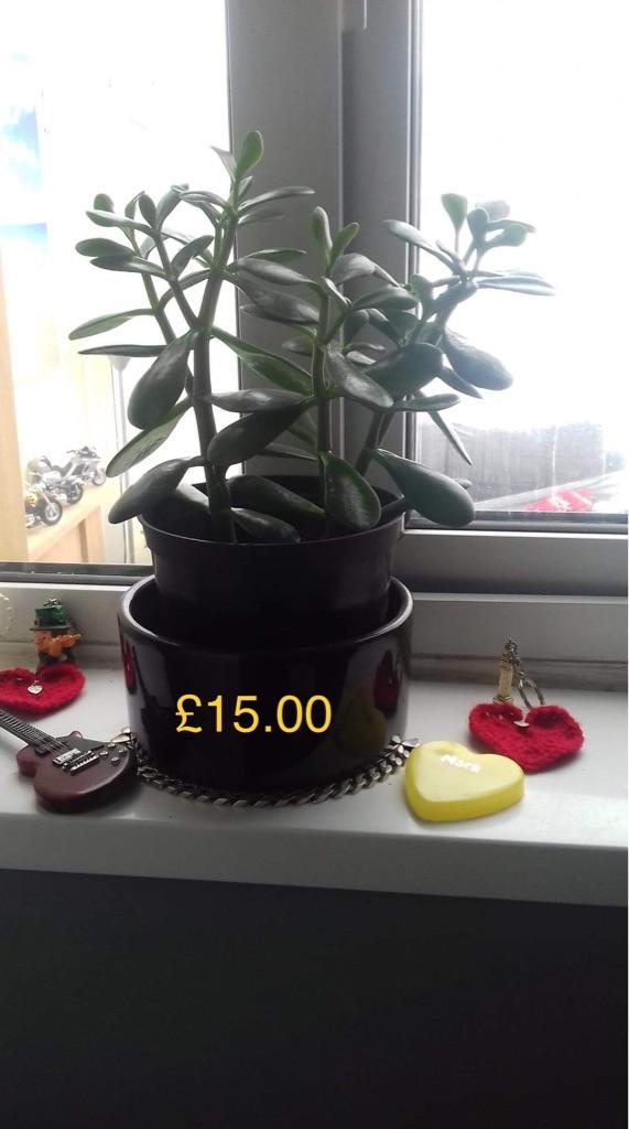 The jade/money plant