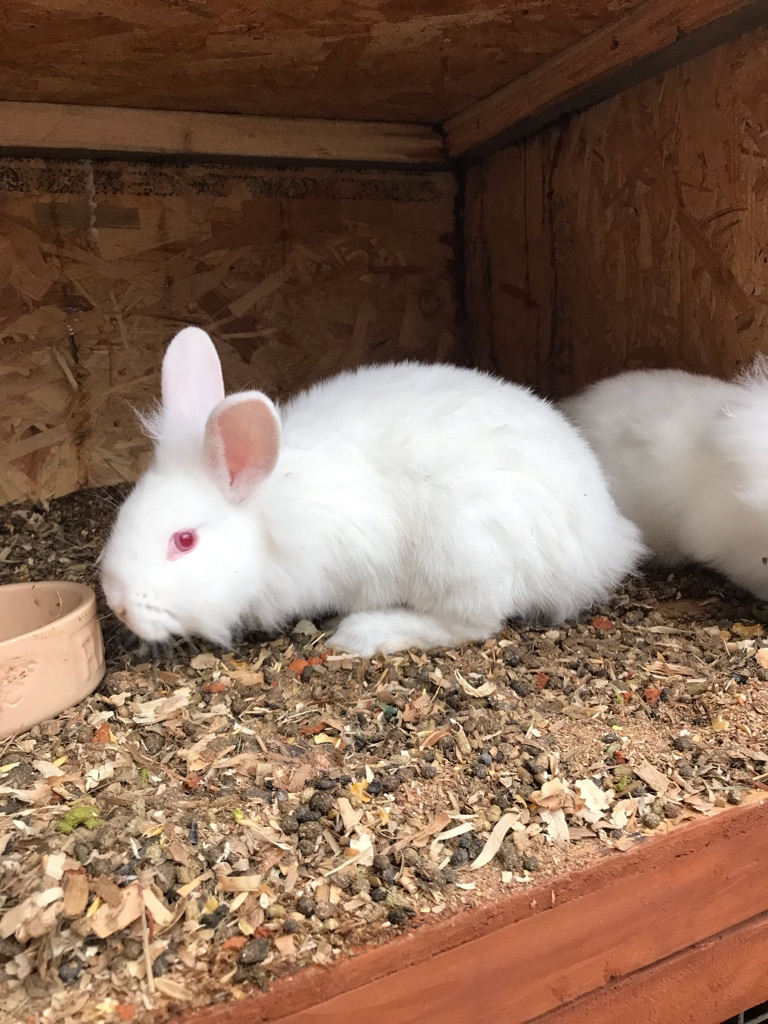Baby lionheads for Sale