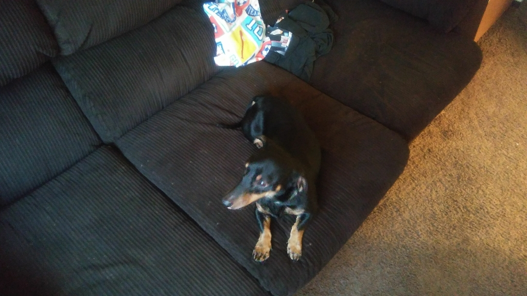 Male Daschund 2yrs old