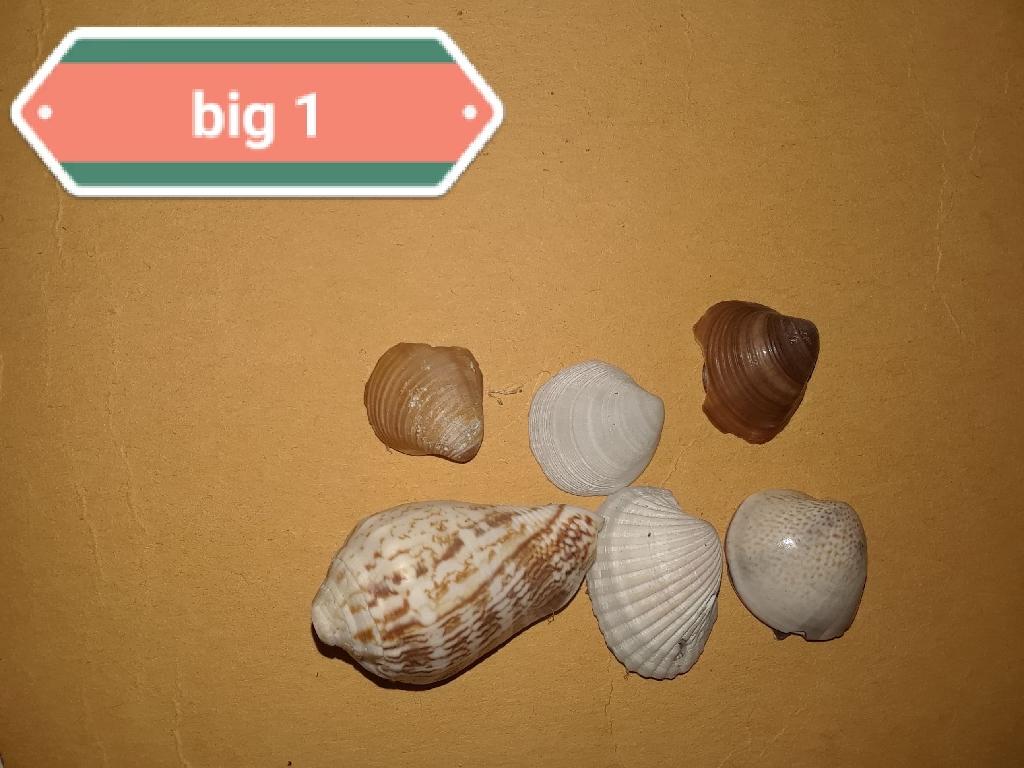 Handmade Medium Seashell Magnets