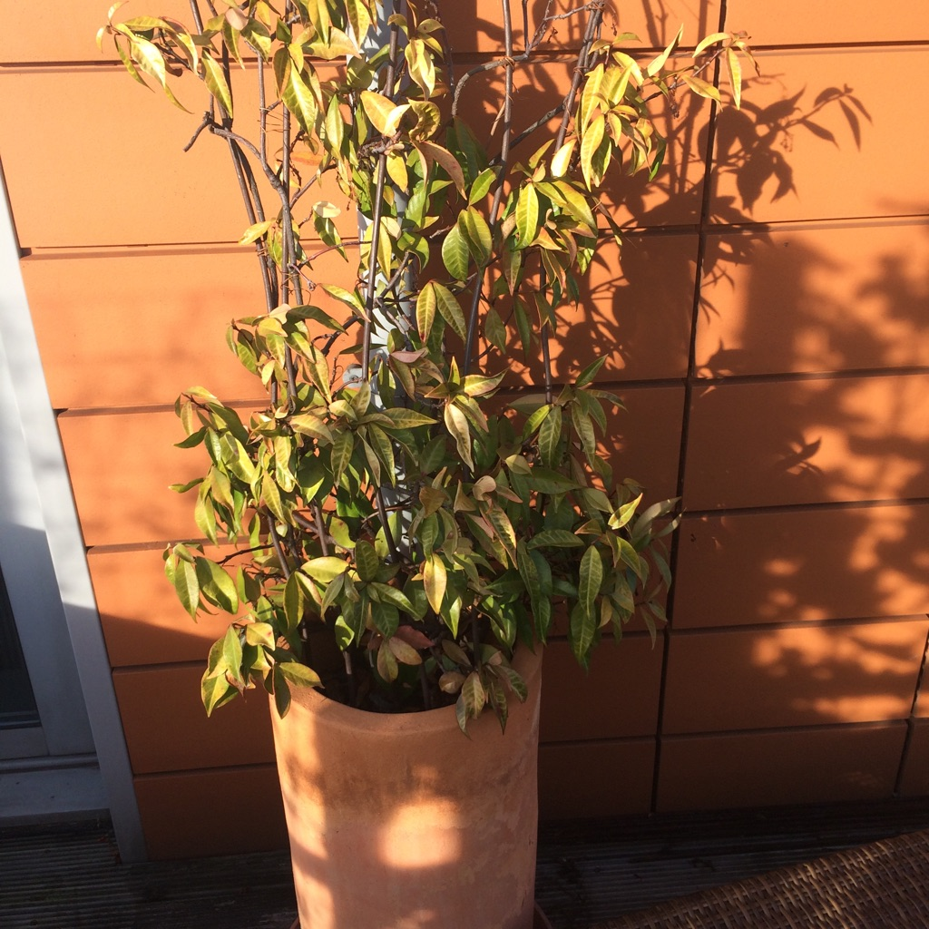 Evergreen Jasmine