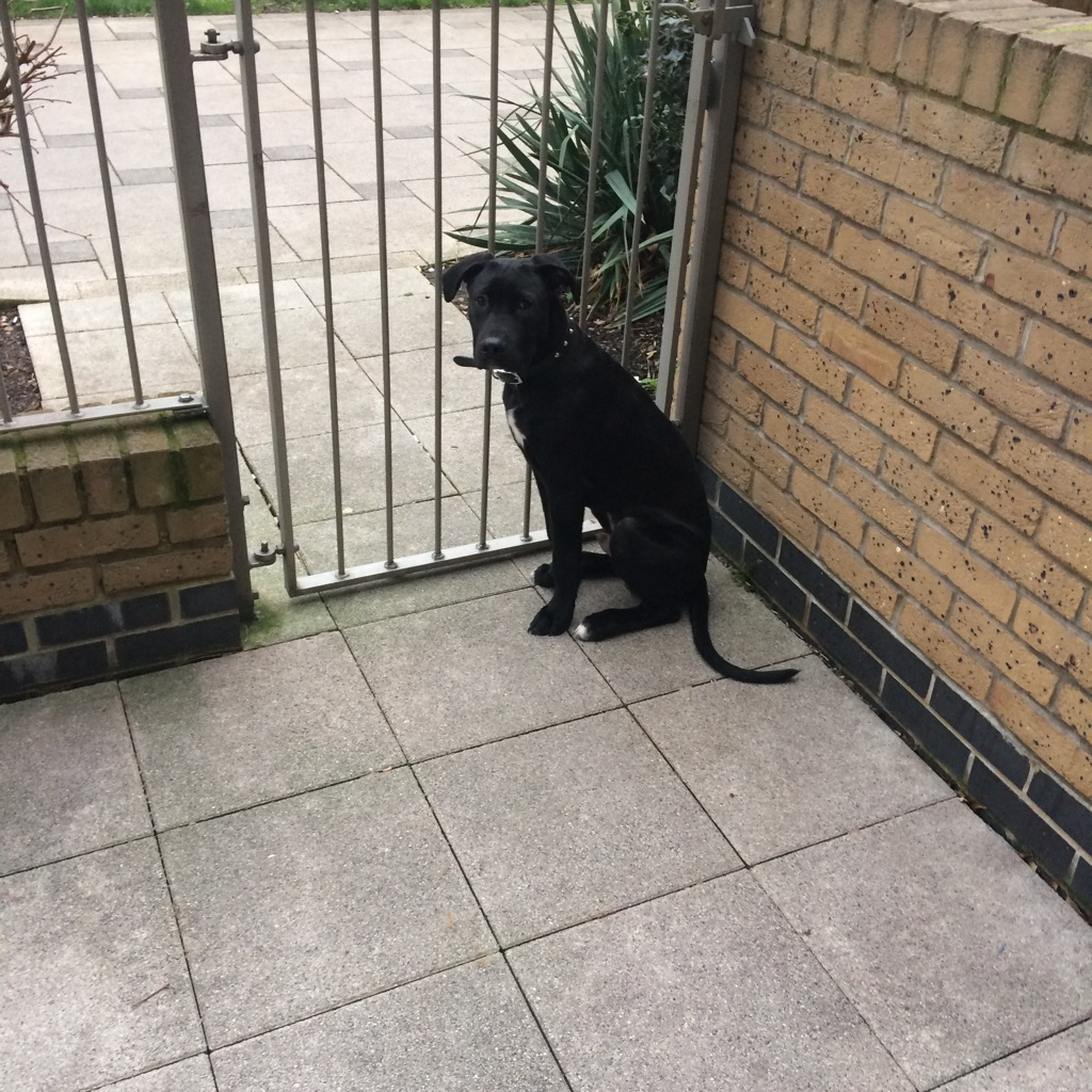 Cane corso X bull mastiff for sale