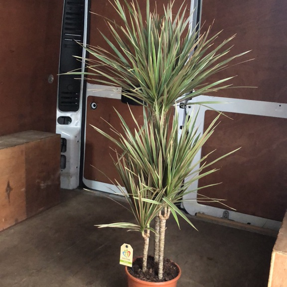 Tall Dracaena plant