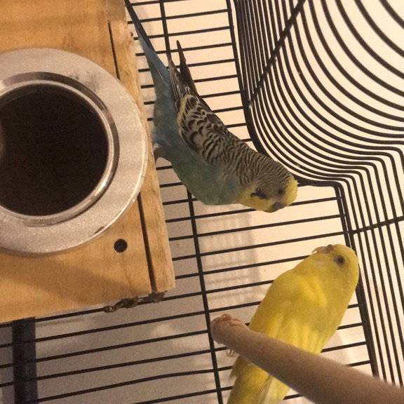 Budgies+cage
