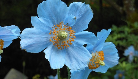 Set of 3 Himalayan Blue Poppy Plants