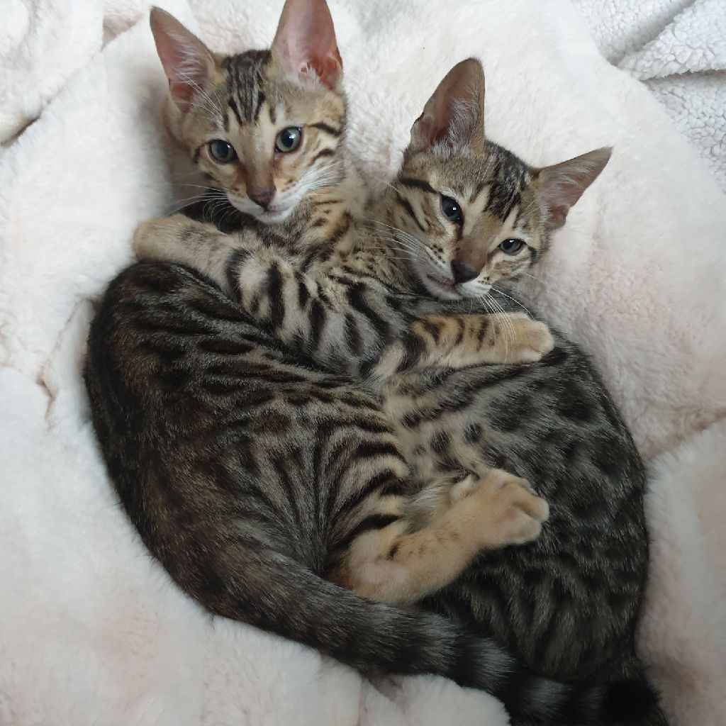 Male Bengal kittens