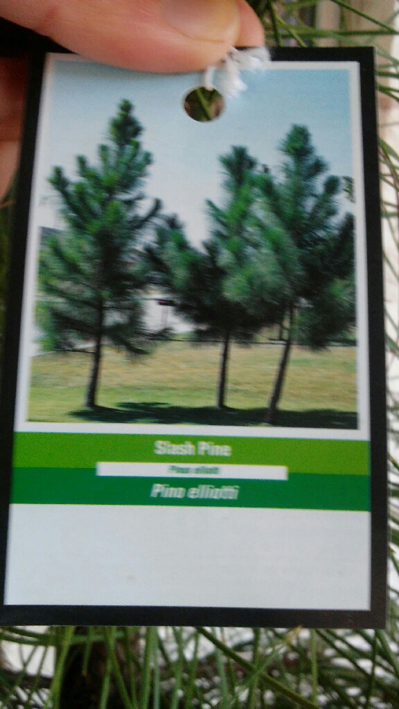 Slash pine tree