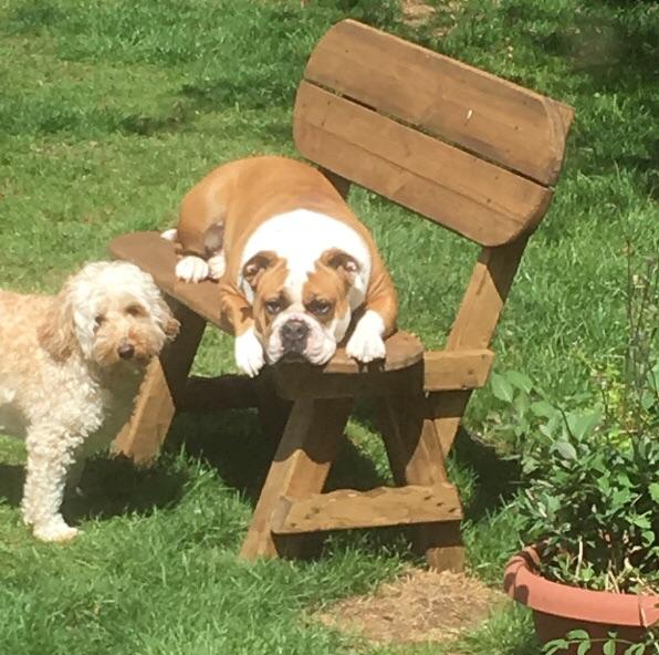 Old Tyme Bulldog Puppies due