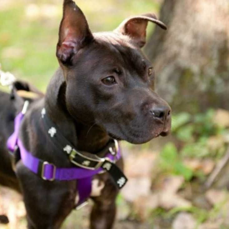 Black Pitt Terrier Female 25lbs Medium Size Dog