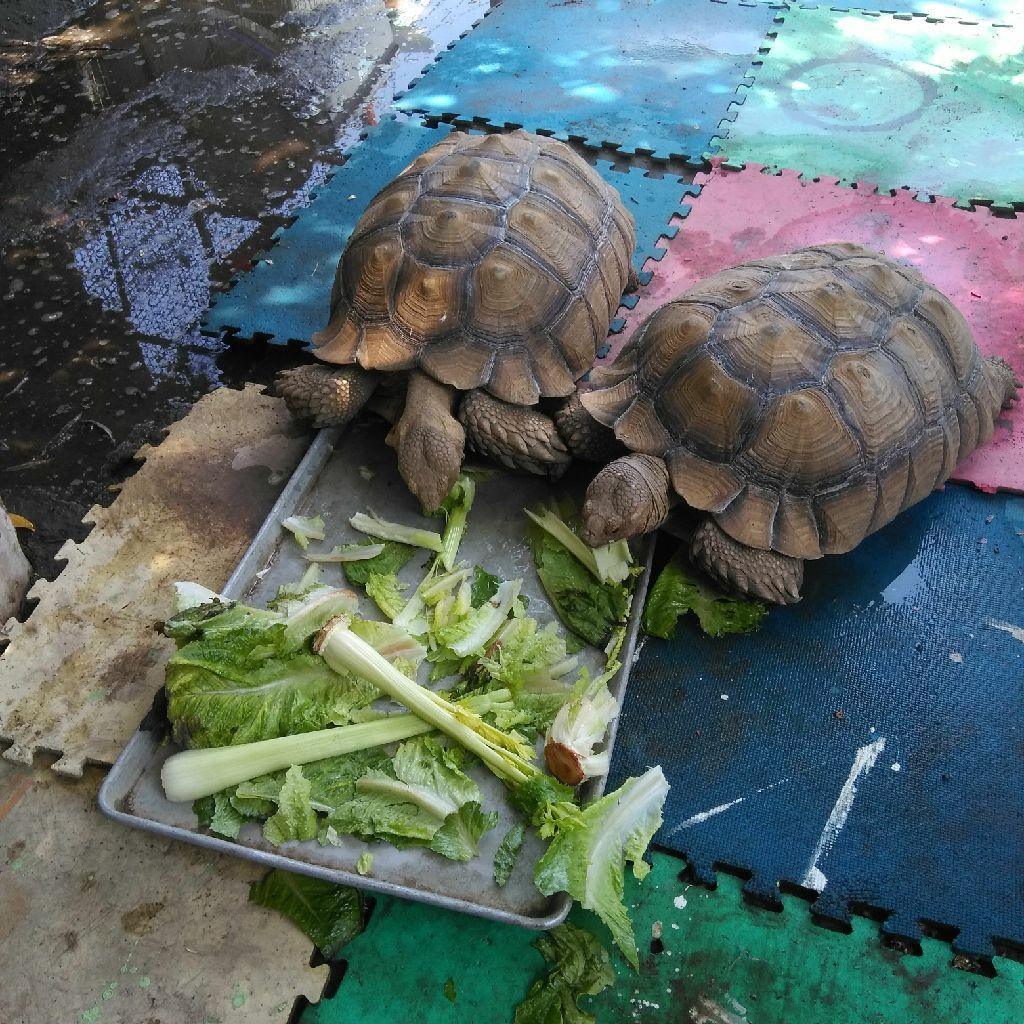 Sulcata turtles