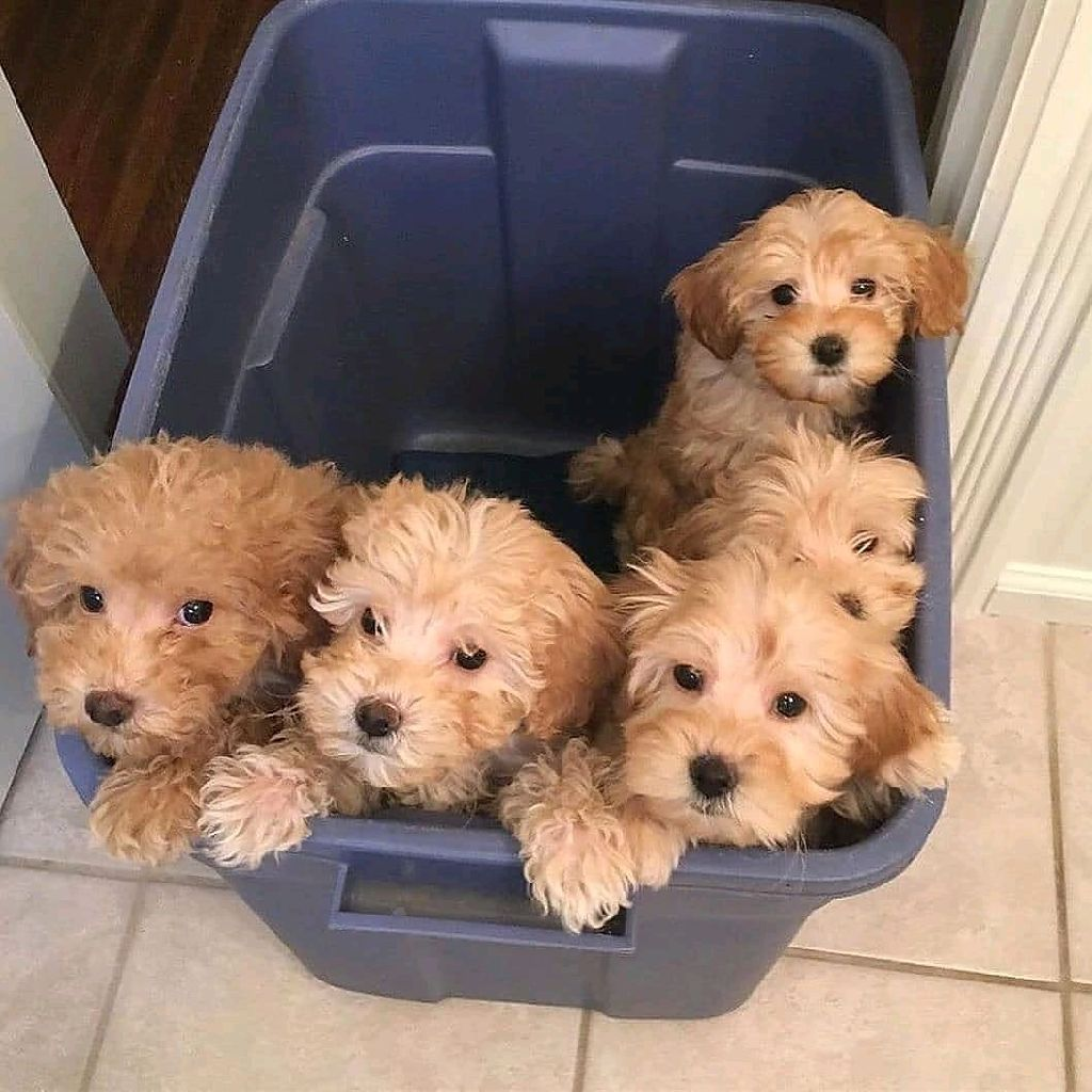 Toy poodle puppies ready for new home