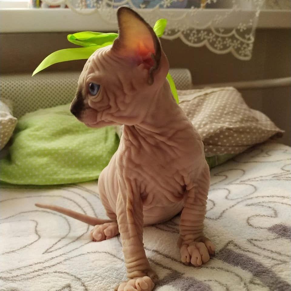 Sphynx Hairless Kitten for adoption