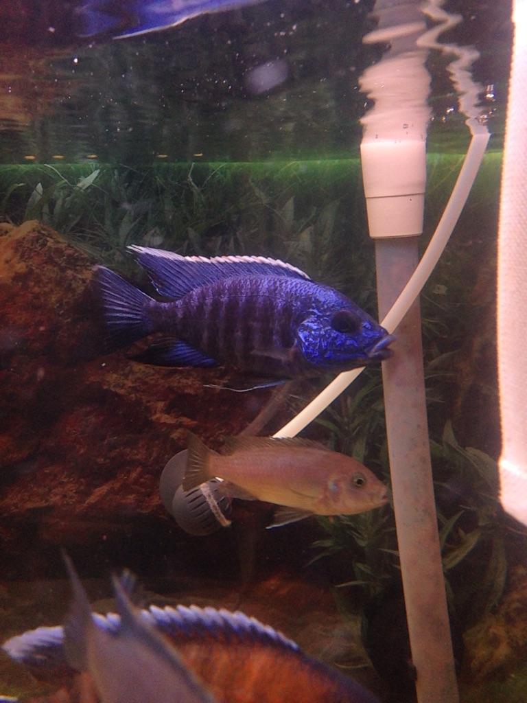 African Malawi Cichlid fish (aulonocara)