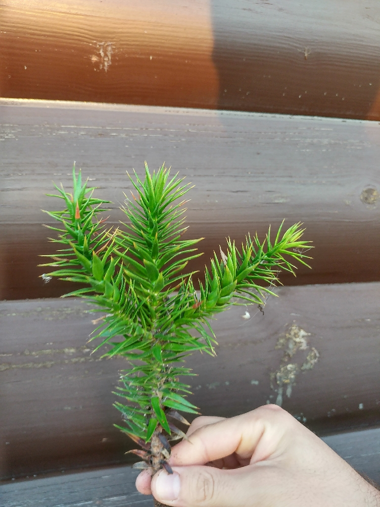 Monkey puzzle young tree / plant