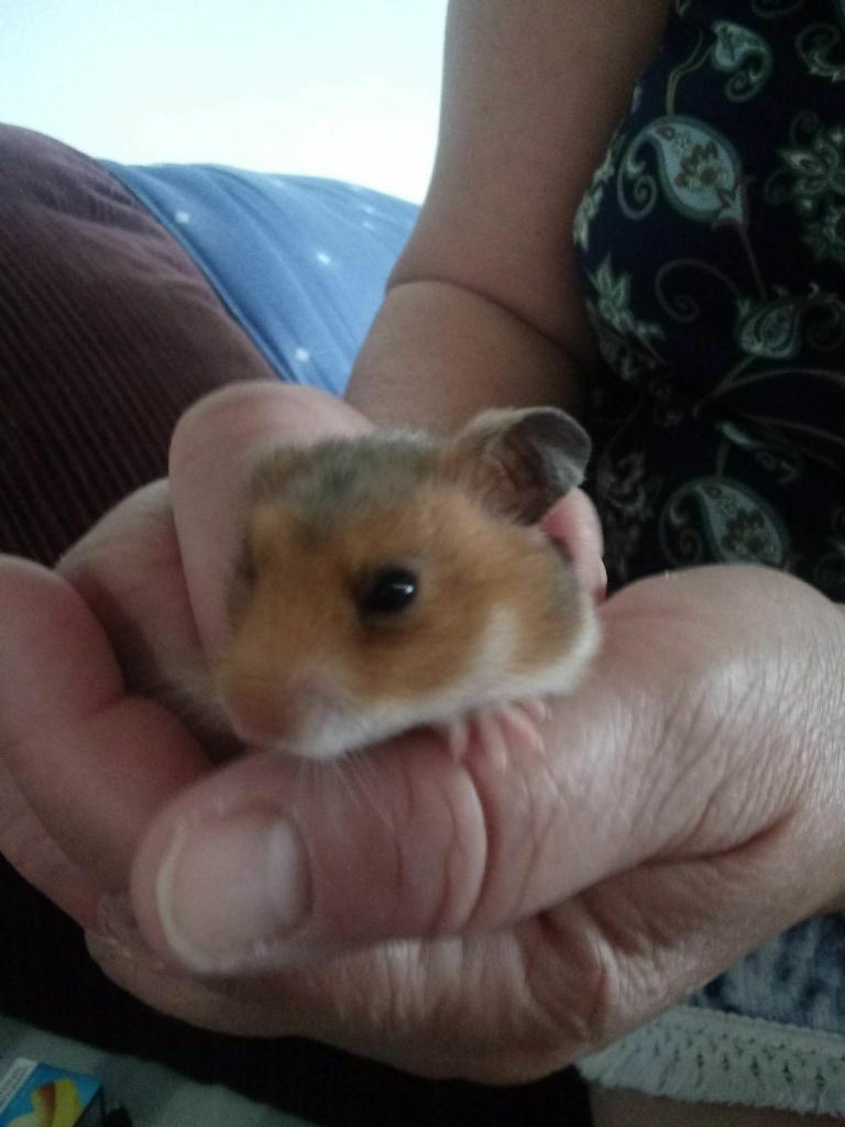 6 female baby hamsters