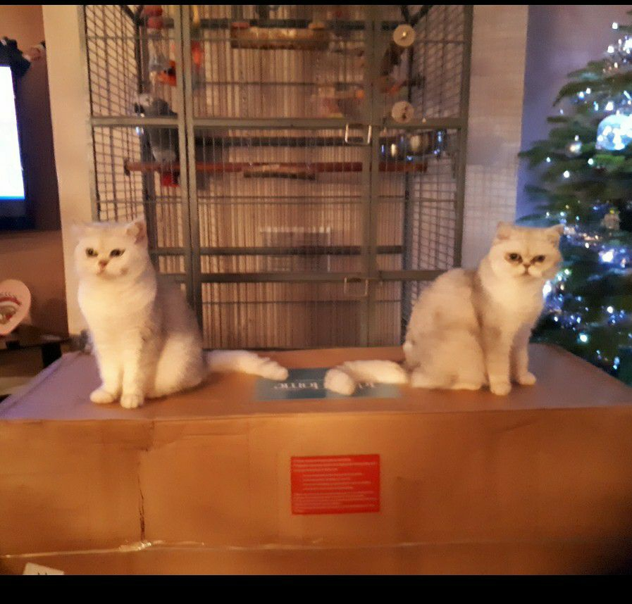 2 exotics shorthair cats