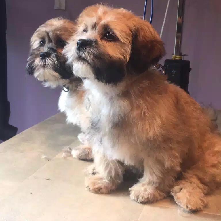 Shi-poo pups