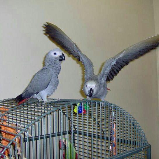African Grey Parrots (+447418332852)